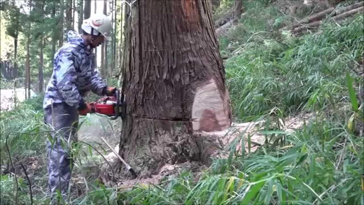 《 住まい塾 》大径木伐採の迫力!製材の技! 「樹から木へ ...