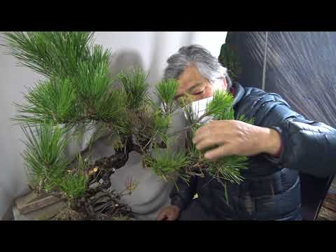 "Bonsai master trim the hurt pine tree for reviving. Cut & wire & pot. Approximately ""no cut edit"""