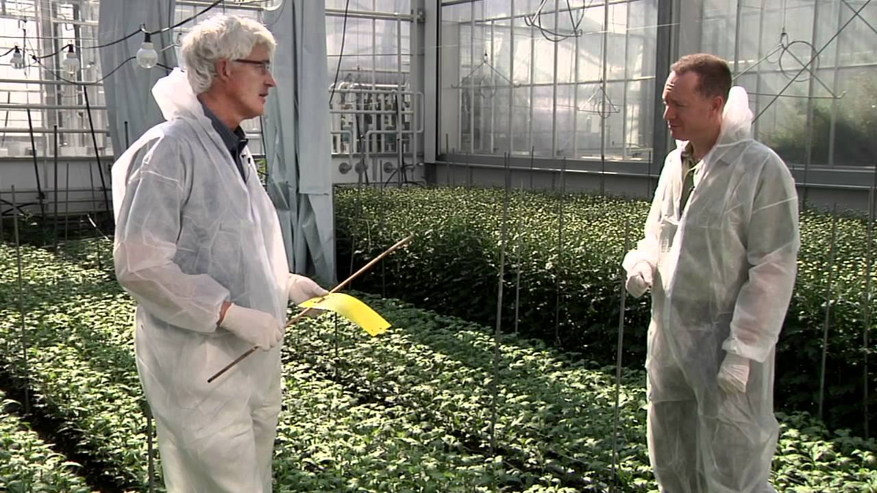 Biological control of garden and greenhouse thrips | HubPages