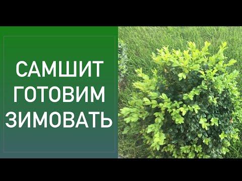 Вопрос: Можно ли выращивать самшит в Подмосковье?