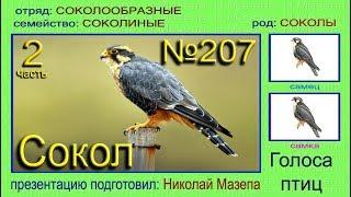 Сокол. Часть 2. Голоса птиц