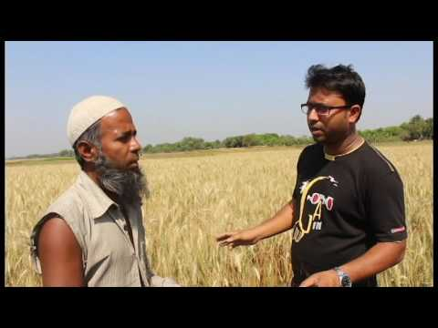 Interview of a wheat farmer, Hafizur Rahman of village Bismillanagar in Jhenaidah in Bangladesh