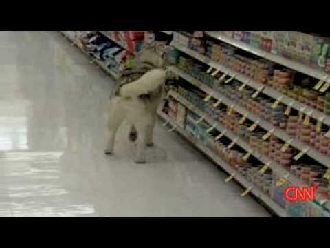shoplifting-dog-apologizes-!-|-canine-returns-to-scene-of-crime-|-ksl-tv