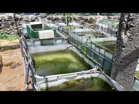 Aquaculture project - livebearers fish farm, Mauritius