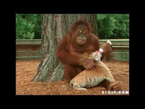Funny Orangutan Video Clips Youtube
