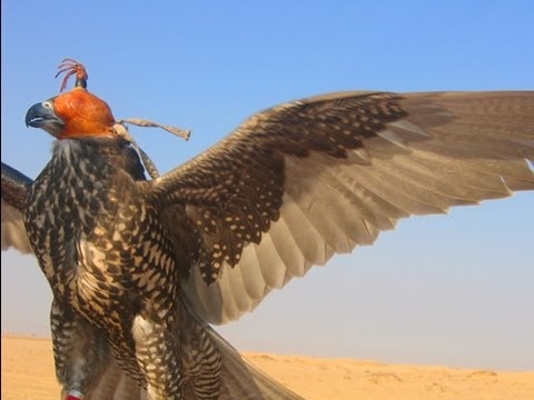 Dubai Falconry - Falcon Training - Sheikh Buti Bin Maktoum - Dubai UAE  (part One)