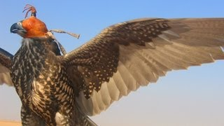 Dubai Falconry - Falcon Training - Sheikh Buti Bin Maktoum - Dubai UAE (part One)
