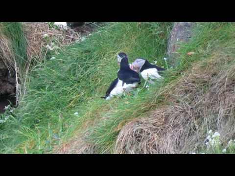 Puffins displaying at the RSPB West Rathlin Visitor Centre in Northern Ireland