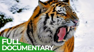 Wildlife Predators: Tiger, Lion, Leopard and Jaguar  The Four Big Cats | Free Documentary Nature