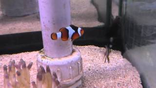 On Location: The Percula Clownfish