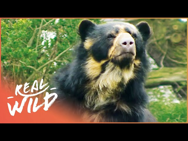Preparing For The Birth Of A Bear Cub | Zoo Days | Real Wild