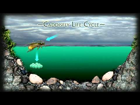 Caddis fly lifecycle HD264