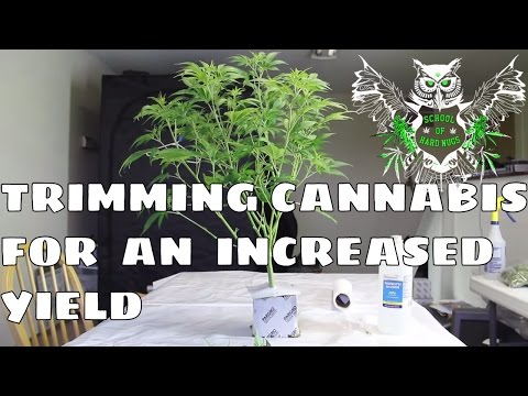 Trimming Cannabis Plant For an Increased Yield | Learn how to grow Marijuana | No more Larf Buds
