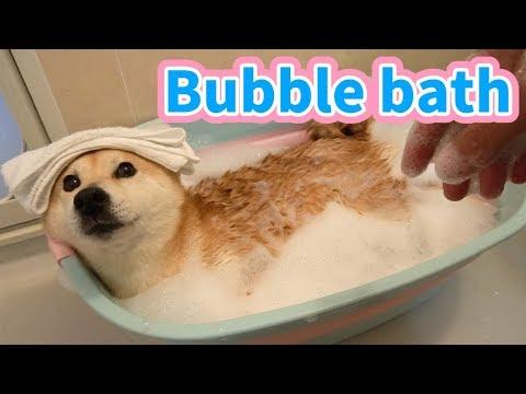 柴犬小春 泡風呂でGWの汚れもスッキリ!Bubble bath