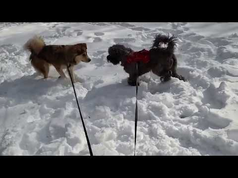 Portuguese Water Dog Wrestles Husky in the Snow: Shot in Super Slow Motion with SG9; Nirvana's Breed