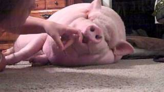 Mabel the mini pig