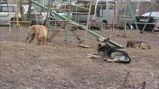 Вести-Хабаровск. Собаки атакуют