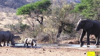Elephant In Harmony With Rhino & Baby!