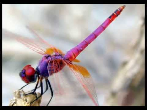 Dragonfly (Dream Mix)