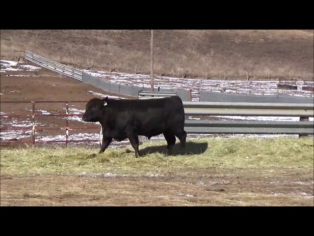 Connealy Angus Lot 505
