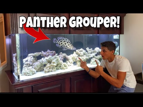 My NEW Pet EXOTIC PANTHER GROUPER!!