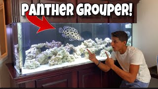 my-new-pet-exotic-panther-grouper