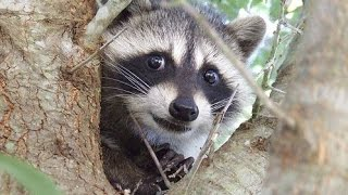 Funny And Cute Raccoon Videos Compilation 2014 [NEW]
