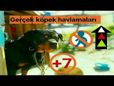 Gece fabrikalar bu köpeklere emanet#kangal köpeği-كلب الكانجال#kكلب الكانجال التركي#kurt köpeği#犬 種類
