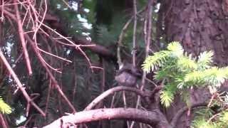 Mönchsgrasmücke im Garten - Männchen und Weibchen oder Jungvogel?