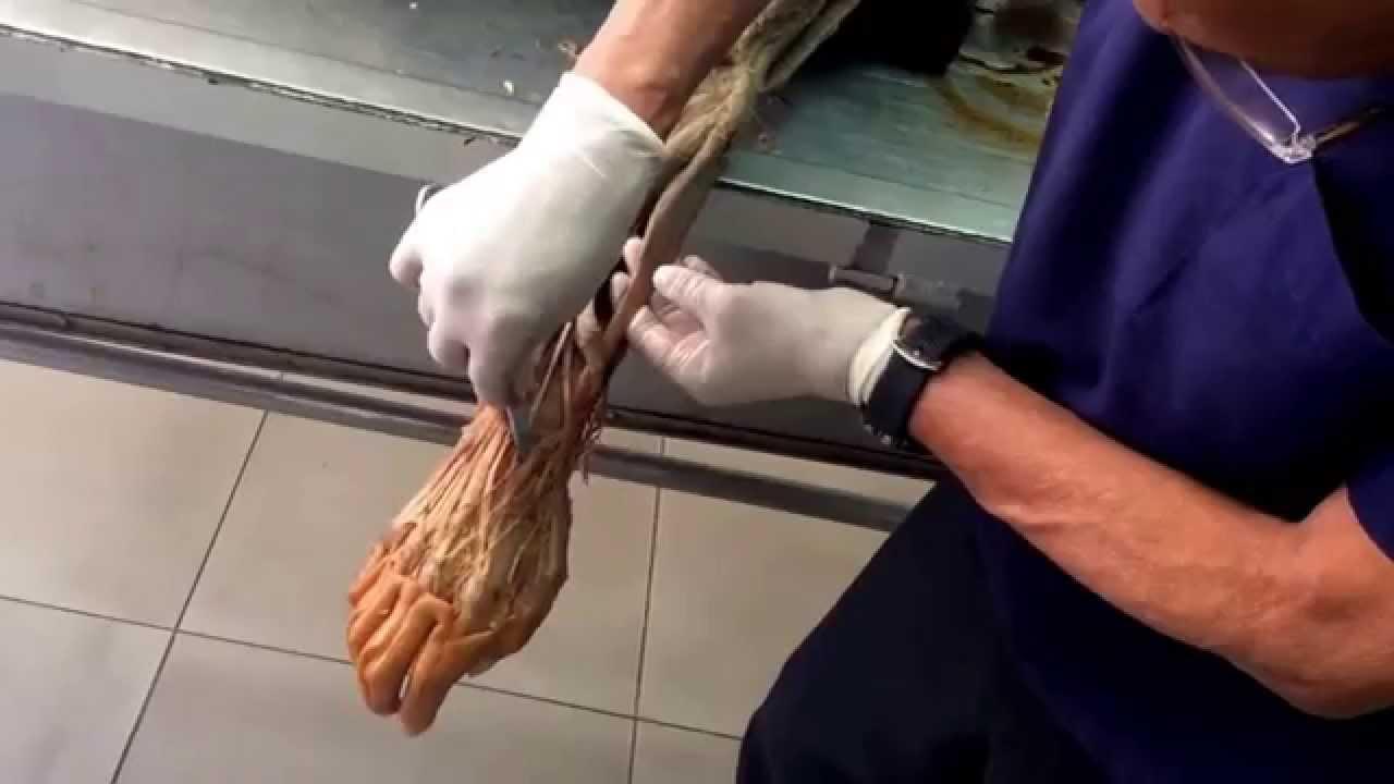 Diseccion brazo anatomia 2015 majos erikos - YouTube