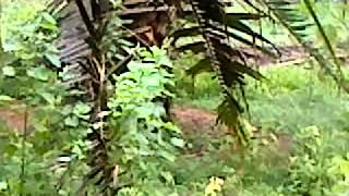 Download Video Pikat ayam hutan lain yg datang MP3 3GP MP4