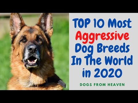 top-10-most-aggressive-dog-breeds-in-the-world-in-2020