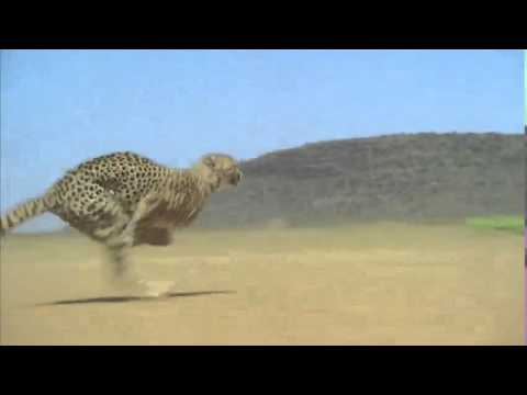 Animation Reference - Cheetah fast run (closer shot)