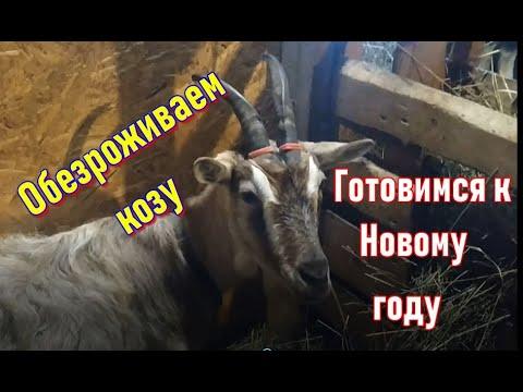 Обезроживаем козу резинками. Немного домашнего видео