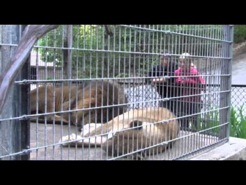 Person Harasses Lion at the Henry Doorly Zoo-Nyla RIP Spring 2014