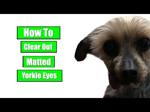 How To Clear Out Matted Yorkie Eyes