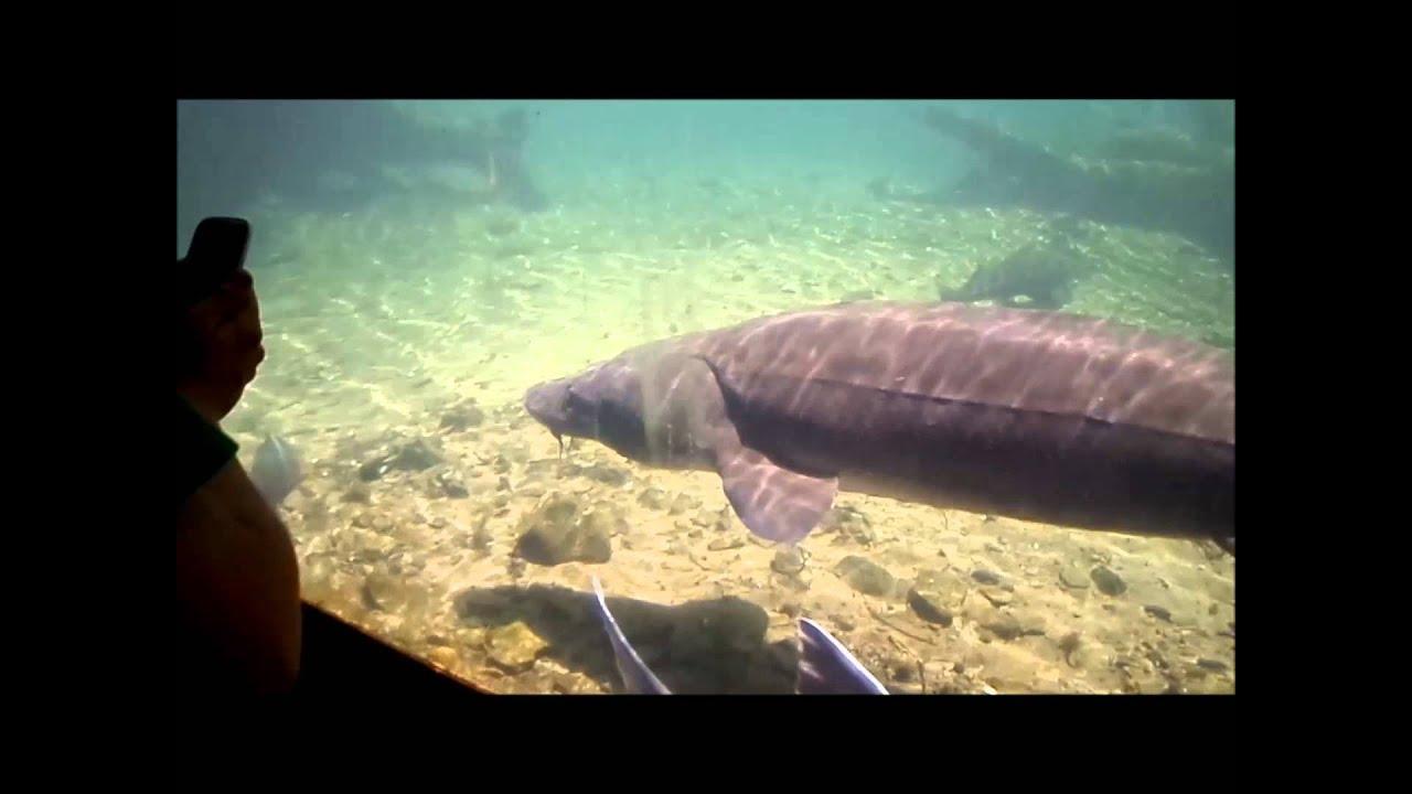 Bonneville dam fish hatchery largest n american fish for Bonneville fish counts