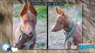 Andalusian Hound  Everything Dog Breeds