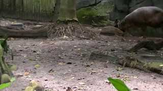 Animal Kingdom Babirusa 7/3/2013 #4