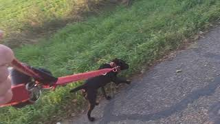 TERRIER WORK Working Terrier Dog Breeds Patterdale Estacado Fell Jagd Border Lakeland HeideTerriers