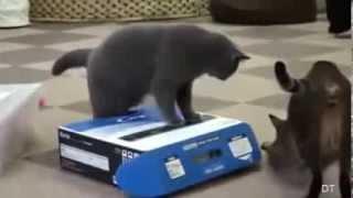 Смешные видео с котами