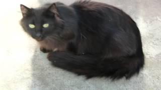 Black Cats! --- CAT COMPILATION