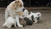 среднеазиатская овчарка и немецкая овчарка купить щенка. - YouTube