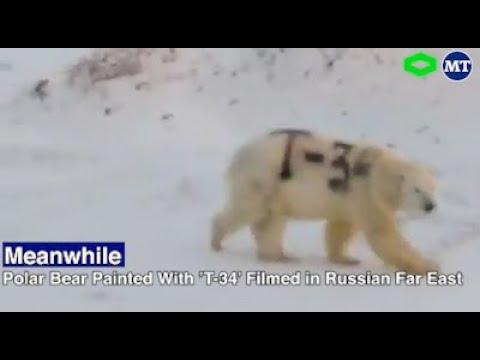 Oso polar marcado con grafiti desconcierta a conservacionistas