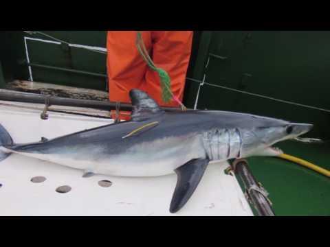 El marcaje satelital de tiburones que realiza el IFOP en Chile