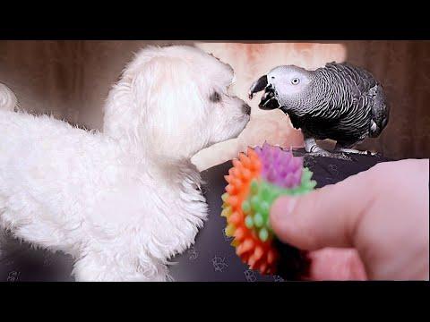 Жако Петруня кошмарит мальтийскую болонку(2часть )😱Jaco Petrunya trolls Maltese lapdog