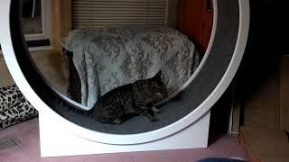Ocicat on Cat Wheel