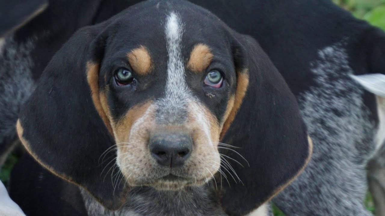 Beagle and Coonhound puppies from RIVER STYX SCENT HOUNDS!