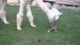 Альпака и маленький котенок