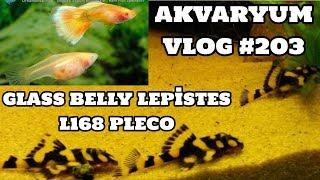 Akvaryum Vlog #203 (L168 Pleco & Glass Belly Lepistes)